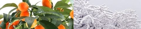 Kumquat and snow