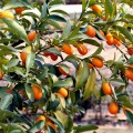 kumquat-trae