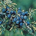 Juniperus Communis - enebær
